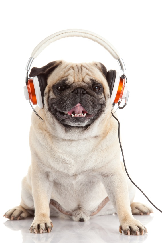 Pug wearing headphones